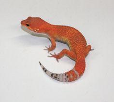 leopard gecko blood morph