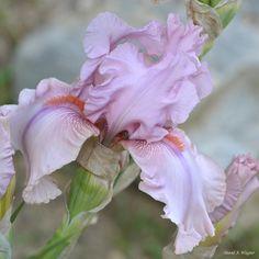 Iris Iris Flowers, Types Of Flowers, Flowers Nature, Spring Flowers, Planting Flowers, Most Beautiful Flowers, Pretty Flowers, Growing Irises, Garden Stairs