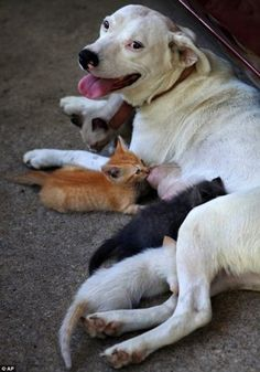 Dogs are so compassionate.  This one has a liter of puppies and after these kittens were orphaned, took them on too.