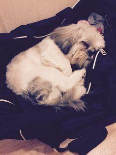 #shihtzu #puppy #sleepypuppy #sleep #cute