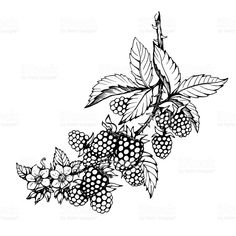 Graphic of branch with blackberry fruit, flowers and leaves (Rubus genus, black berries). Black and white outline illustration, hand drawn work. Isolated on white background. royalty-free graphic of branch with blackberry fruit flowers and leaves black and white outline illustration hand drawn work isolated on white background stock vector art & more images of antioxidant