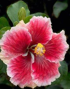 Cajun Hibiscus ~ Beautiful
