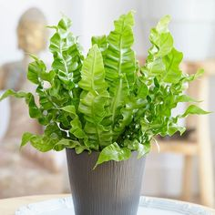 Asplenium nidus Crispy Wave - Indoor House Plants