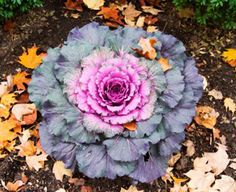 """Ornamental kales are said to be the """"daffodils and tulips"""" of the fall garden, and a great way to fill in gaps and brighten up fading flower beds. They laugh in the face of dropping temperatures and frost, in fact, cooler weather only serves to intensify their color."""