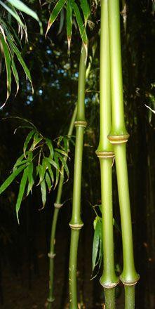 Chinobambusa tumidissinoda