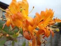 Honeysuckle tellmaniana - Climbers - Lonicera - Orange   good in shade eBay