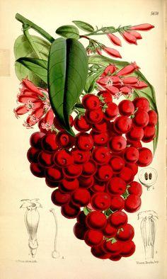 Curtis's botanical magazine.. London ; New York [etc.] :Academic Press [etc.]. biodiversitylibrary.org/page/432880