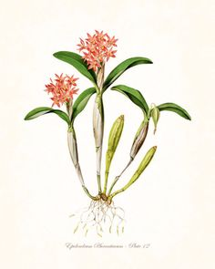 Vintage Orchid Flower Series No.12- Botanical Print