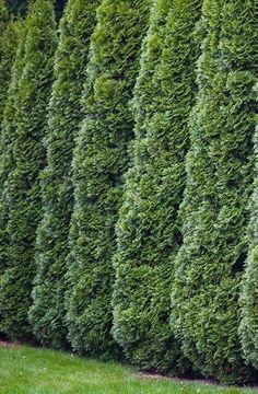 The legends are true. The Green Giant Arborvitae is the fast-growing privacy screen tree you've been looking for! Fast Growing Privacy Shrubs, Best Trees For Privacy, Shrubs For Privacy, Fast Growing Evergreens, Bushes And Shrubs, Fast Growing Trees, Garden Shrubs, Privacy Screens, Green Giant Arborvitae