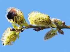 Blüten einer Sal-Weide mit einer fetten Hummel