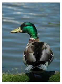 The male mallard, distinguished by his striking green head.