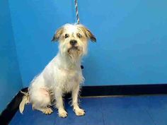 SAFE --- URGENT - Manhattan Center   BENJI - A0985177   MALE, CREAM / WHITE, COLLIE ROUGH MIX, 2 yrs, 2 mos  STRAY - STRAY WAIT, NO HOLD  Reason STRAY  Intake condition NONE Intake Date 11/17/2013, From NY 10468, DueOut Date 11/20/2013, https://www.facebook.com/photo.php?fbid=713573988655483&set=a.617938651552351.1073741868.152876678058553&type=3&permPage=1#!/photo.php?fbid=713974065282142&set=pb.152876678058553.-2207520000.1385417351.&type=3&theater