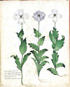 Botanical - Flower - Carnation - Italian (4)