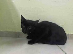 TO BE DESTROYED 10/24/14 ** PRETTY PANTHER KITTEN! ONLY 4 MONTHS OLD! Average Ricky interacts with the observer, appreciates attention, is easy to handle and tolerates all petting. Came in with A1017030, A1017031, A1017034 ** Manhattan Center  My name is RICKY. My Animal ID # is A1017035. I am a male black domestic sh mix. The shelter thinks I am about 4 MONTHS old.  I came in as a STRAY on 10/10/2014 from NY 10458, Group/Litter #14-197825.