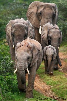 Approaching Giants elephant herd South Africa by Jacques Matthysen Photo Elephant, Elephant Family, Elephant Love, Elephant Walk, Elephant Facts, Animals And Pets, Baby Animals, Cute Animals, African Elephant