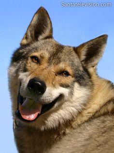 Cachorro Husky na Lapônia na Finlândia