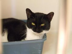 Meet 211138, an adoptable Domestic Short Hair Cat | Columbia, SC | Animals are adopted on a first come basis and cannot be held back from a potential home, so please...
