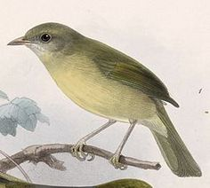 Hylophilus flavipes viridiflavus 1902.jpgEl verdillo paticlaro2 (Hylophilus flavipes), también denominado verderón rastrojero (en Colombia), verdillo matorralero (en Costa Rica), verderón patipálido (en Venezuela) o vireillo de los matorrales,3 es una especie de ave paseriforme, perteneciente al género Hylophilus de la familia Vireonidae. Es nativo del sureste de América Central y norte de América del Sur.