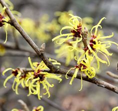 All About Witch Hazel—uses, health benefits and precautions