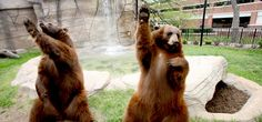 "Baylor mascots Joy and Lady give their best ""Sic 'em, Bears!"" pose!"