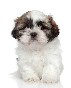 Shih Tzu Puppies For Sale In Maine