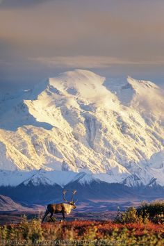 Bull caribou and Mt McKinley