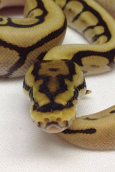 Very cool ball python Pretty Snakes, Cool Snakes, Lil Black, South Texas, Ball Python, Reptiles, To My Daughter, Cool Stuff, Frogs