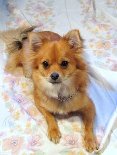 Pomchi_1426668.   One of the longest living dogs 16-18 years