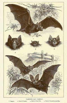 Framed Print - Vintage Victorian Bat Illustrations (Antique Animal Picture Bats)