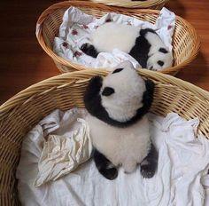 Baby pandas                                                                                                                                                      Más