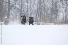 Page Not Found - Royal Canin Purebred Dogs, Black Forest, Your Dog, Snow, Animals, Outdoor, Outdoors, Animales, Animaux