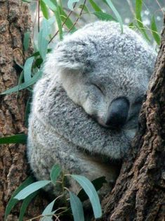 Sleepy head koala