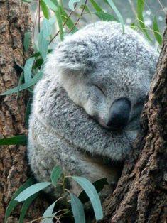 Sleepy head koala