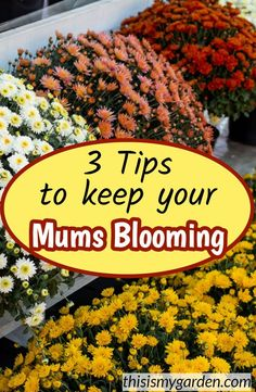 3 Tips to Keep Your Mums Blooming throughout Autumn. 3 Tips to Keep Your Mums Blooming throughout Autumn. Fall Flower Pots, Fall Flowers, Mum Flower, Garden Mum, Autumn Garden, Growing Flowers, Planting Flowers, Potted Flowers, Flower Gardening