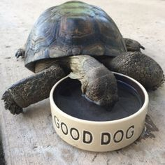 A tortoise can be a dog too if you try hard enough.