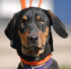 01/20/16--Meet Dillon, a Petfinder adoptable Black and Tan Coonhound Dog | Canyon Lake, TX | Hi, I'm Dillon and I'm all Hound! I'm very friendly to everyone and I'm a high spirited young guy.I...