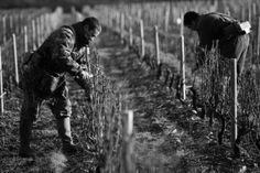 Taille de la vigne Domaine Eric Louis, Vins de Sancerre
