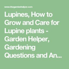 Lupines, How to Grow and Care for Lupine plants - Garden Helper, Gardening Questions and Answers