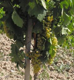 Alguien sabría decirnos qué tipo de uva es esta? Un minipunto para el que lo acierte!!!