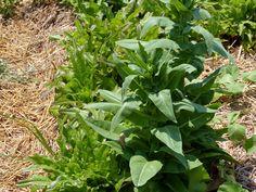 Lettuce – Secrets to Getting Eatable Lettuce well into Summer - tendingmygarden.com