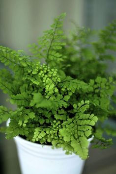 Maidenhair Fern - I remember dad growing these in the bathroom when we were kids. Now I want one for our bathroom