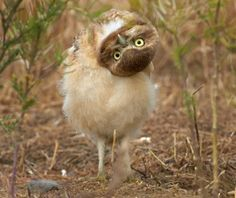 This curious owl looked bemused when it was confronted with a camera lens outside its burrow. The youngster, only a year old, turned its head upside down in a bid to get a better look at the curious object. Photographer Henrik Nilsson captured the amusing sight on camera near Moses Lake in Washington State, America.