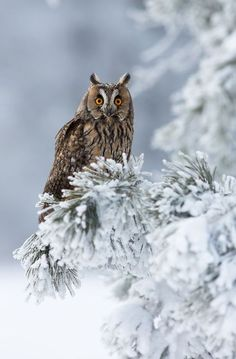 An Owl ~ In Winter.