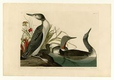 Global Gallery 'Red-Throated Diver' by John James Audubon Framed Graphic Art Size: Canvas Poster, Canvas Art, Canvas Size, Audubon Prints, Painting Prints, Art Prints, Paintings, Birds Of America, John James Audubon