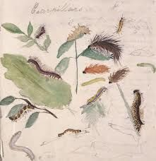 beatrix potter caterpillar studies in watercolour