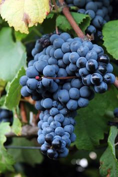 Tannat has been growing in southwest France for many centuries. The grape has the distinction of possessing the highest amounts of oligomeric procyanidins (OPCs), a.k.a. tanninns, than any other (hence the name). http://www.snooth.com/varietal/tannat/