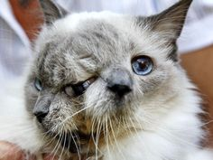 Meet Frank and Louie, a cat with not only two names, but also two faces on one head. Born 12 years ago, the cat - known as a Janus cat - was not expected to live long, the Associated Press reports. Janus cats almost never survive, and most have birth defects, including a cleft palate, that makes it difficult for them to nurse and often causes them to slowly starve or get milk in their lungs and die of pneumonia. Frank and Louie did not suffer from these common ailments.