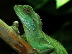 Adult Chinese Water Dragon | Hi I received my water dragon this morning, he's really tame and I ...