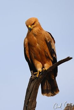 Tawny Eagle. Motswari Game Preserve.