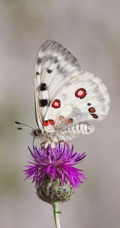 Fairy wings-papillon ailes motif coeur avec marabou bords libre del,